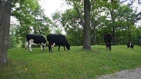 Paisagem da vaca Imagens de Stock