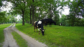 Paisagem da vaca Imagens de Stock Royalty Free