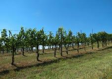 Paisagem da vinha do Chianti Foto de Stock Royalty Free