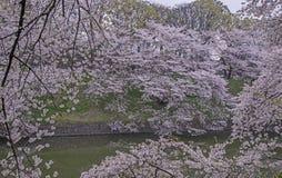 Paisagem das flores de cerejeira Fotos de Stock