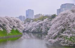 Paisagem das flores de cerejeira Fotos de Stock Royalty Free