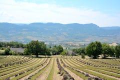 Paisagem das linhas de alfazemas cortadas em campos colhidos com grupos de flores de corte Com um céu azul fotos de stock royalty free