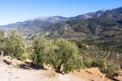 Paisagem das montanhas com plantas das azeitonas Foto de Stock
