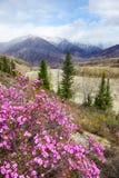 Paisagem de Altai com as flores do dauricum do rododendro imagens de stock royalty free