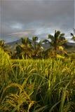 A paisagem de Bali, Jatiluwih, arroz coloca, palmeiras Fotos de Stock