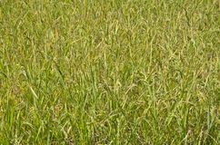 Paisagem de campos do arroz Imagens de Stock