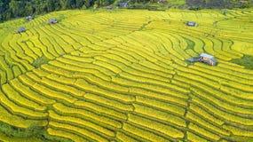 Paisagem de campos do arroz do ouro fotografia de stock royalty free