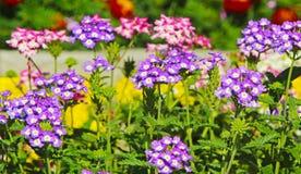 Paisagem de flores violetas bonitas Fotos de Stock Royalty Free