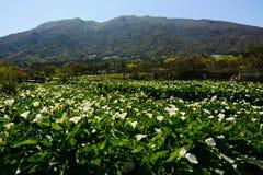 Paisagem de florescência da mola bonita no festival de Zhu Zi Hu Calla Lily em Taiwan Fotos de Stock Royalty Free