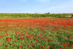 Paisagem de florescência vermelha do prado Fotografia de Stock