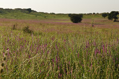 Paisagem de Kalahari com flores roxas Imagem de Stock