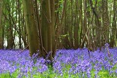 Paisagem de madeira do assoalho da floresta do non-scripta do Hyacinthoides da campainha fotografia de stock royalty free