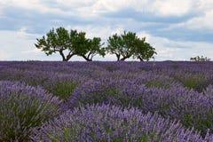 Paisagem de Provence com alfazema foto de stock
