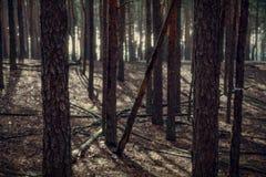 Paisagem de raios de uma floresta do pinho de luz, imagem cinemático Imagem de Stock Royalty Free