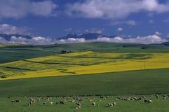 Paisagem de testes padrões do campo da colheita Foto de Stock