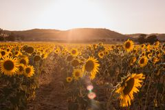 A paisagem de um por do sol da beleza sobre girass?is coloca fotografia de stock royalty free