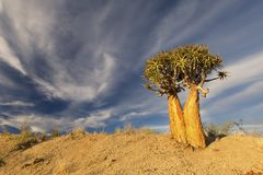 Paisagem de uma árvore tremer com céu azul e as nuvens finas em seco fotos de stock royalty free