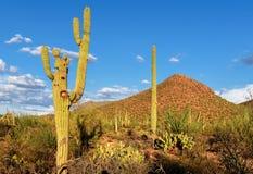 Paisagem do Arizona com Saguaros Foto de Stock Royalty Free
