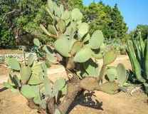 Paisagem do cacto Cultivo dos cactos Campo do cacto Jardim da flor e das plantas no jardim botânico na ilha maravilhosa Lokrum fotografia de stock