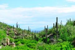 Paisagem do cacto do Saguaro Parque nacional de Saguaro, o Arizona Fotografia de Stock Royalty Free