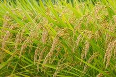 Paisagem do campo do arroz, Nagano, Japão Imagens de Stock