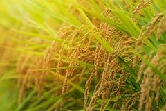Paisagem do campo do arroz no por do sol, Nagano, Japão Imagem de Stock
