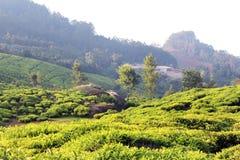 Paisagem do campo da plantação de chá Fotos de Stock Royalty Free