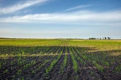 Paisagem do campo de milho Imagem de Stock Royalty Free