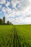paisagem do campo de trigo verde Fotos de Stock Royalty Free
