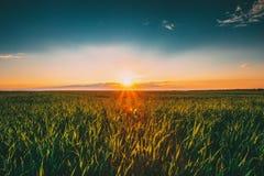 Paisagem do campo de trigo verde sob o céu dramático do verão cênico no por do sol Dawn Sunrise Skyline Copyspace fotos de stock royalty free