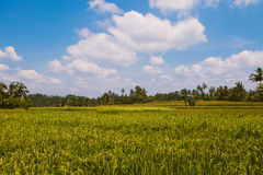 Paisagem do campo do arroz, Ubud, Bali Foto de Stock Royalty Free