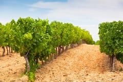Paisagem do campo do vinhedo Fotografia de Stock