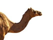 Paisagem do deserto com camelo imagem de stock