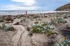 Paisagem do destino do turista, cena ocidental da praia da ilha de Malvinas com couve de Yellow Sea, pinguins de observação dos p imagem de stock royalty free
