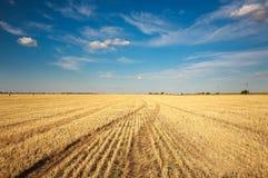 A paisagem do fundo do campo de exploração agrícola colheu o trigo no céu azul Imagens de Stock