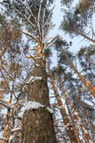 A paisagem do inverno As árvores na neve Imagens de Stock