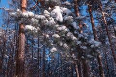 Paisagem do inverno Fundo do Xmas com flocos de neve brancos Luz solar na floresta do inverno Fotografia de Stock