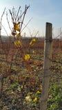 Paisagem do inverno nos vinhedos Fotos de Stock