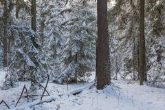 Paisagem do inverno do suporte conífero no por do sol Fotos de Stock