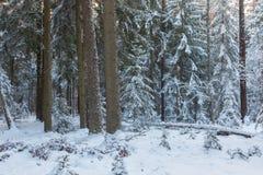 Paisagem do inverno do suporte conífero no por do sol Fotografia de Stock