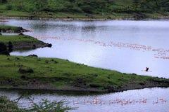 Paisagem do lago flamingo, África Fotos de Stock