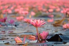 Paisagem do mar vermelho famoso dos lótus em Tailândia Foto de Stock
