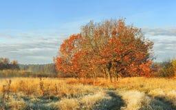 Paisagem do outono da manhã clara da natureza em outubro A árvore com vermelho sae na grama amarela coberta prado no dia ensolara imagem de stock