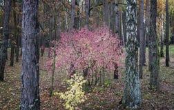Paisagem do outono na floresta com um arbusto com folhas vermelhas Fotografia de Stock Royalty Free