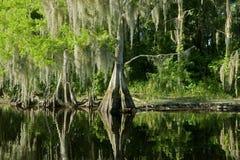 Paisagem do pântano de Florida com cipreste