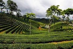 Paisagem do planation do chá na manhã no norte de Tailândia fotos de stock