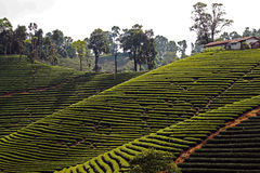 Paisagem do planation do chá na manhã no norte de Tailândia imagens de stock