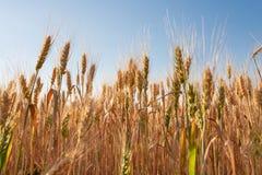 Paisagem do por do sol Campo de trigo Orelhas do fim dourado do trigo acima fotografia de stock royalty free