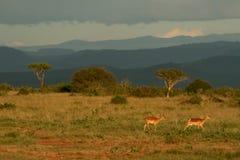 Paisagem do savana com impala fotos de stock royalty free