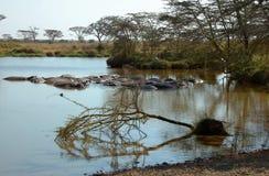 Paisagem do Serengeti com hipopótamos fotografia de stock royalty free